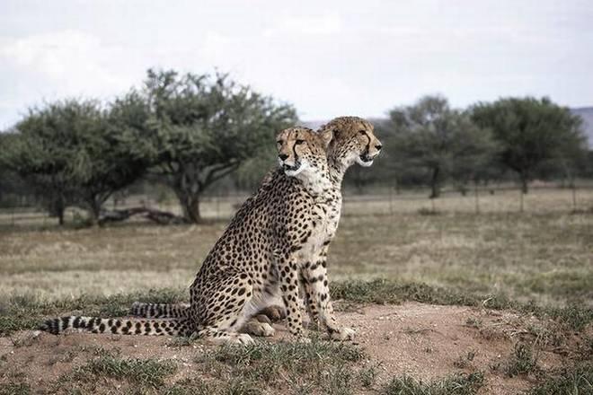 ias4sure.com - Cheetah Reintroduction Project